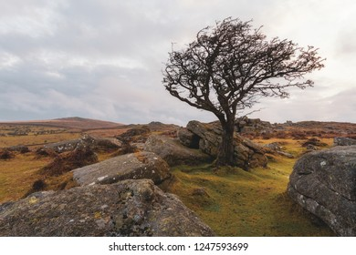 dartmoor hawthorn tree devon england uk