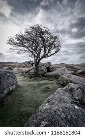 dartmoor lone tree devon uk