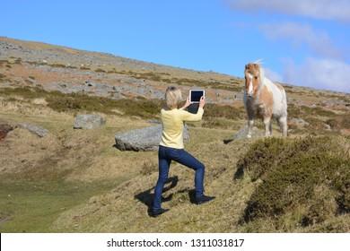 Dartmoor National Park, Devon, England - March 10 2016 :  Female tourist taking a photo of a Dartmoor pony