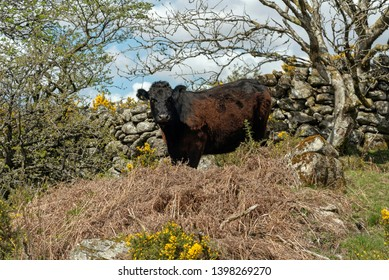Dartmoor National Park, Devon, England, UK. May 2019. A free roaming cow on moorland in Dartmoor a famous countryside location in the west country of England