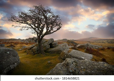Dartmoor national park sunset with hawthorn tree on the Tor