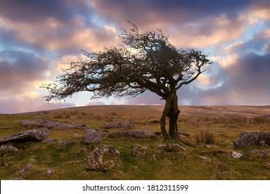 Dartmoor national part hawthorn tree devon england uk