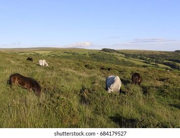 Dartmoor Ponies 1
