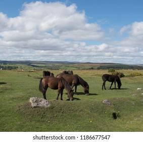 Dartmoor Ponies (Equus ferus caballus) Grazing on the Summit of Combestone Tor within Dartmoor National Park in Rural Devon, England, UK