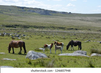 Dartmoor ponies and foals grazing in the summer near Merrivale with a granite tor in the background. Dartmoor National Park, Devon, England