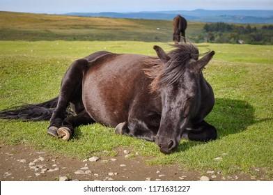 Dartmoor Ponies Gather near Haytor, Dartmoor, Devon UK
