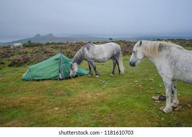 Dartmoor ponies grazing by a wild camping tent in Dartmoor National Park, Devon, UK.