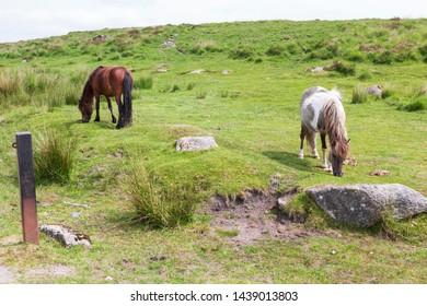 Dartmoor ponies grazing in the rugged wilds of Dartmoor National park,Devon, UK