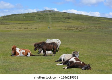 Dartmoor ponies resting and grazing on Whitchurch Common in the summer, with hikers walking up to Cox Tor in the background, Dartmoor National Park, Devon, England