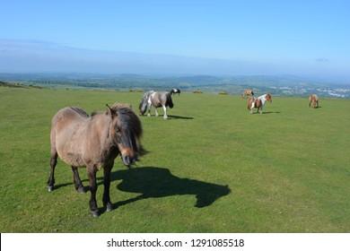 Dartmoor ponies roaming free and grazing on Whitchurch Common, Dartmoor National Park, near Tavistock, Devon, England