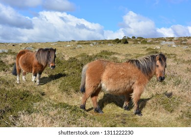 Dartmoor ponies roaming free on a beautiful sunny day on the high moors,  Dartmoor National Park, Devonshire, England.