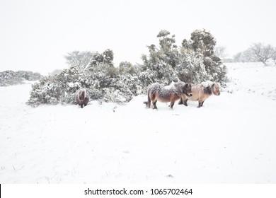 Dartmoor Ponies sheltering in the snow Dartmoor Devon Uk