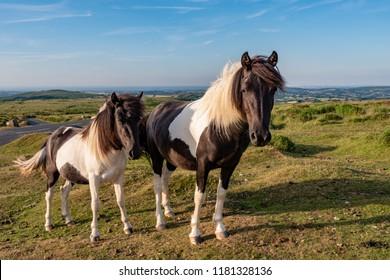 Dartmoor Ponies, Skewbald Mare with foal, Dartmoor National Park, Devon, Uk