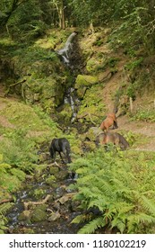 Dartmoor Ponies taking water