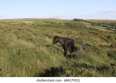 Dartmoor Pony