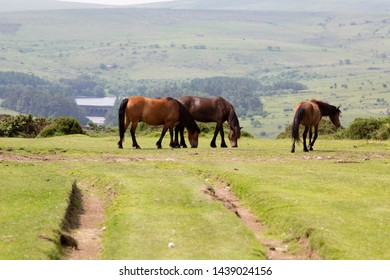 The Dartmoor pony is breed of pony that lives on Dartmoor England. It has been there for centuries and is used in a variety of roles.