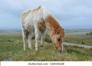 Dartmoor pony grazing in Dartmoor National Park, Devon, England, Low angle view, remote landscape