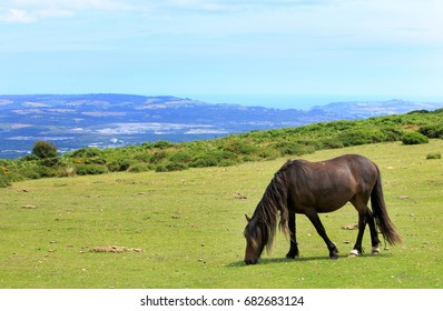 A Dartmoor Pony grazing on the lush green grass with a scenic countryside background. Devon, UK