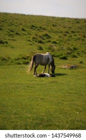 A Dartmoor pony grazing while her foal lies asleep next to her.