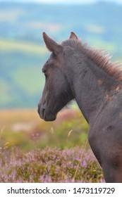 Dartmoor pony at Hay Tor in Dartmoor National Park.
