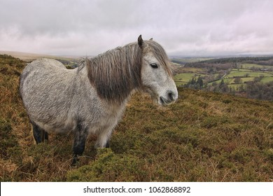 Dartmoor pony with landscape in the background
