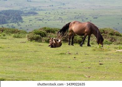 A Dartmoor pony mare with her foal who is having a good roll on the grass on Dartmoor, Devon, UK. The Dartmoor pony is breed of pony that lives on Dartmoor in Devon, England.