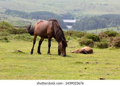 A Dartmoor pony mare with her foal in the Dartmoor National park, Devon, UK. The Dartmoor pony is breed of pony that lives on Dartmoor in Devon, England.
