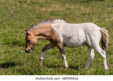 Dartmoor Pony. Dartmoor National Park is a vast moorland in the county of Devon, in southwest England. Dartmoor ponies roam its craggy landscape, defined by forests, rivers, wetlands and Rocky tors .
