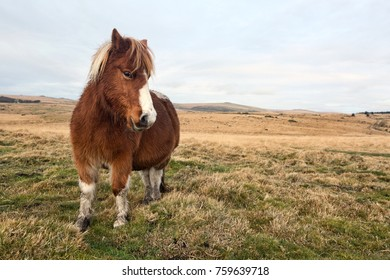 Dartmoor Pony on moor