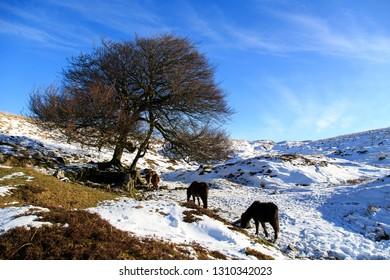 Dartmoor Pony on Dartmoor in the snow