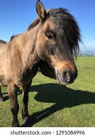 Dartmoor pony, portrait, Dartmoor National Park, Devon, England
