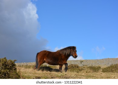 Dartmoor pony roaming free on a beautiful sunny day on the high moors,  Dartmoor National Park, Devonshire, England.
