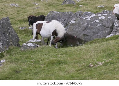Dartmoor Pony rubbing neck against granite rock