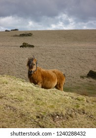 A Dartmoor pony in the sunny hills of the Dartmoor National Park, Southern Devon, England