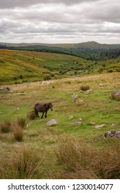 Dartmoor pony with Tor in the background in Devon.