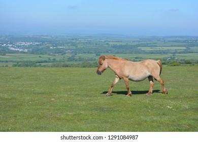 Dartmoor pony walking across Whitchurch Common,  Dartmoor National Park, near Tavistock, Devon, England
