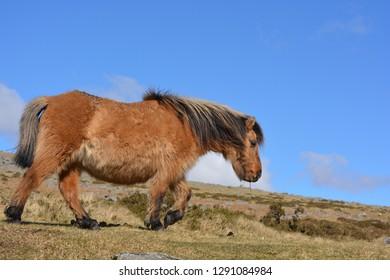 Dartmoor pony walking on the moors in Spring, Dartmoor National Park, Devon, England