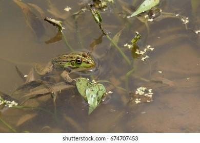 "Daruma pond frog - Pelophylax porosus porosus. It is called ""Tokyo Darumagaeru"" in Japan."