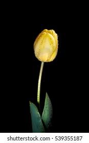 """Darwin hybrid type tulip """"Golden Apeldoorn"""""""