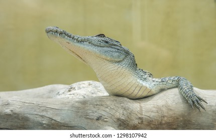 Darwin, Northern Territory, Australia-October 15,2017: Closeup of juvenile saltwater crocodile at Crocosaurus Cove in Darwin, Australia