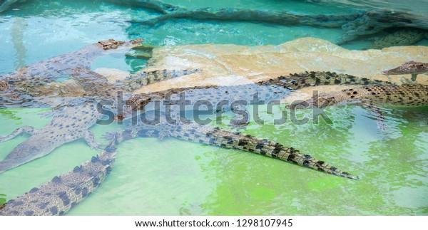 Darwin, Northern Territory, Australia-October 15,2017: Closeup of juvenile crocodiles in water at Crocosaurus Cove in Darwin, Australia