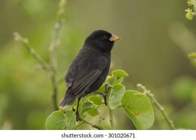 A Darwin's Finch or Galapagos Finch (Geospiza Spp)