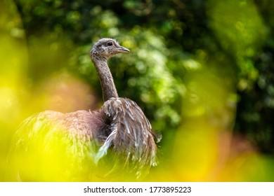Darwin's nanda ostrich portrait in nature