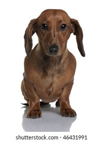 Daschund, 1 year old, sitting in front of white background
