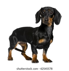 Daschund, 10 months old, standing in front of white background