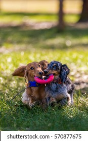 Daschund Best Friends