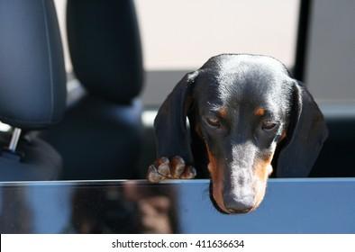 Daschund in Car Window