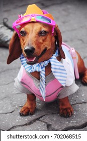 A Daschund dog wearing pink sunglasses, an orange hat, white and blue stripe scarf, and pink shirt.