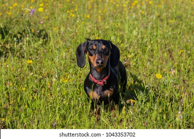 Daschund in a Meadow