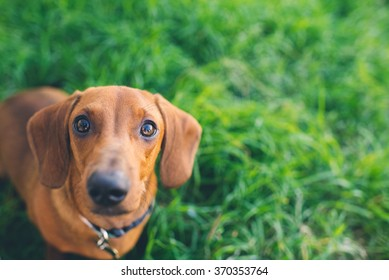 Daschund on green grass